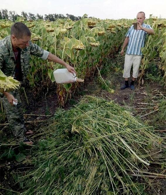 На Юр'ївщині спалили 500 кущів коноплі, фото-1