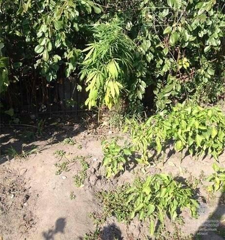 Павлоградец на огороде отчима вырастил плантацию конопли , фото-3
