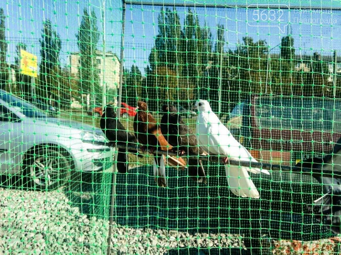 В Павлоград привезли голубей и редких декоративных птиц, фото-12