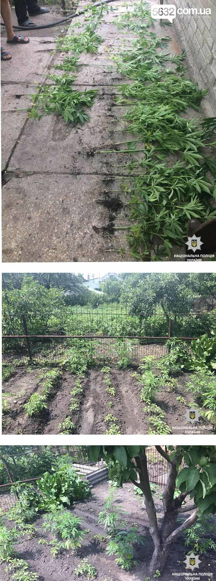 Павлоградець вирощував коноплю на городі вітчима , фото-1