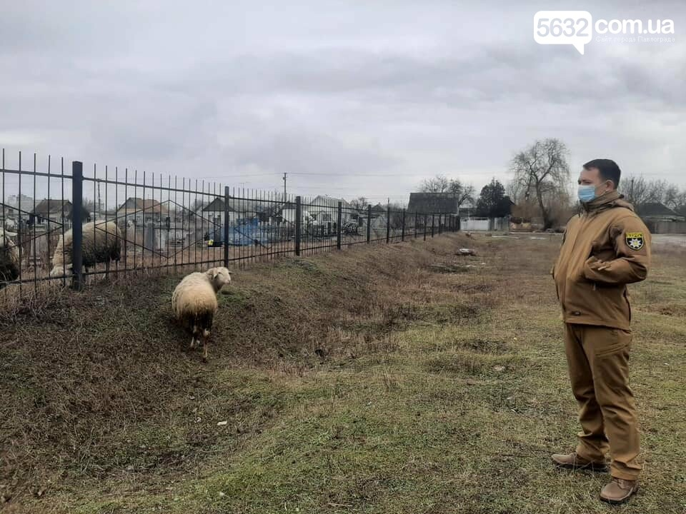 Павлоградец выпасал овец прямо на кладбище (ФОТО), фото-2