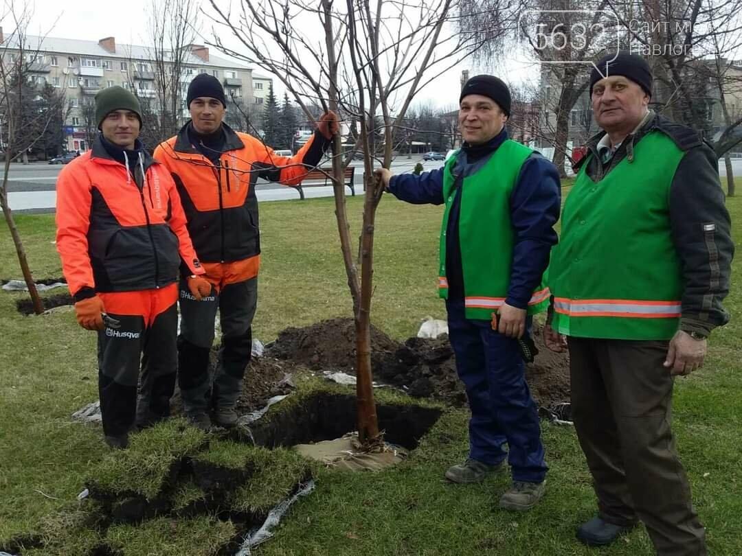 В центре Павлограда высаживают молодые деревья (ФОТО), фото-3