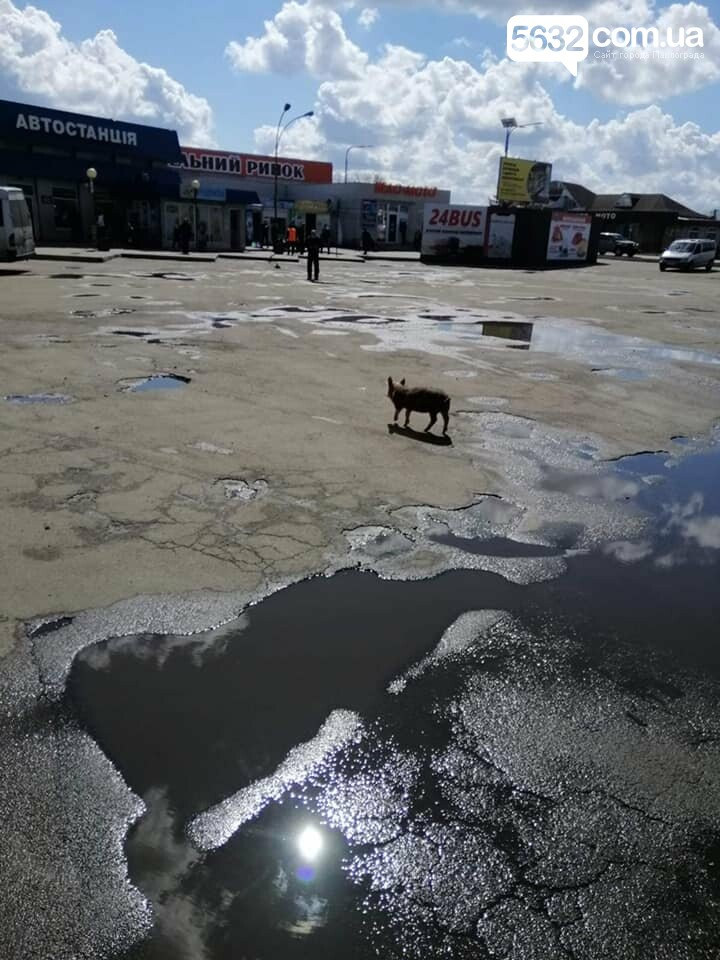 По территории автостанции Павлограда гуляла… свинья (ФОТО), фото-1