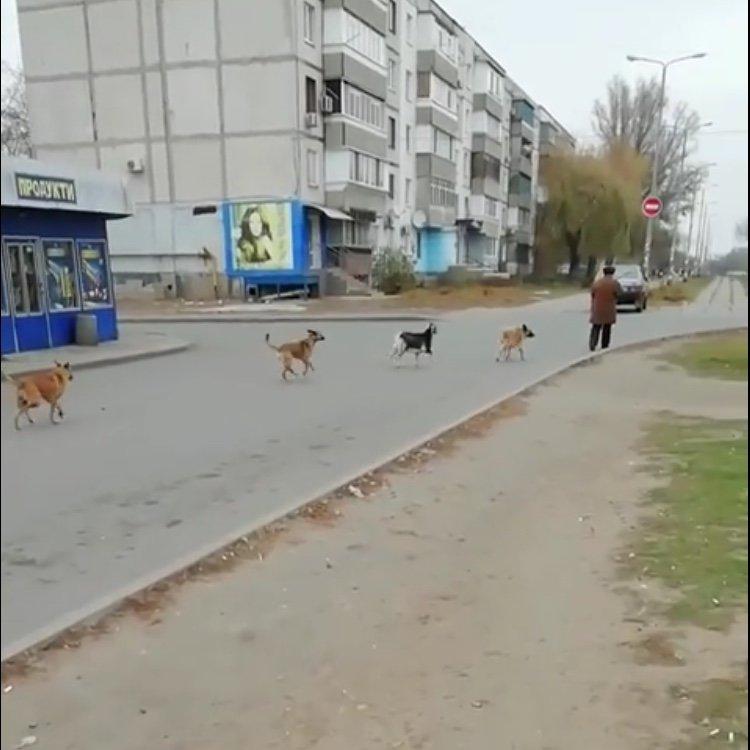 По центру Павлограда бегает стая собак во главе с козлёнком  , фото-1