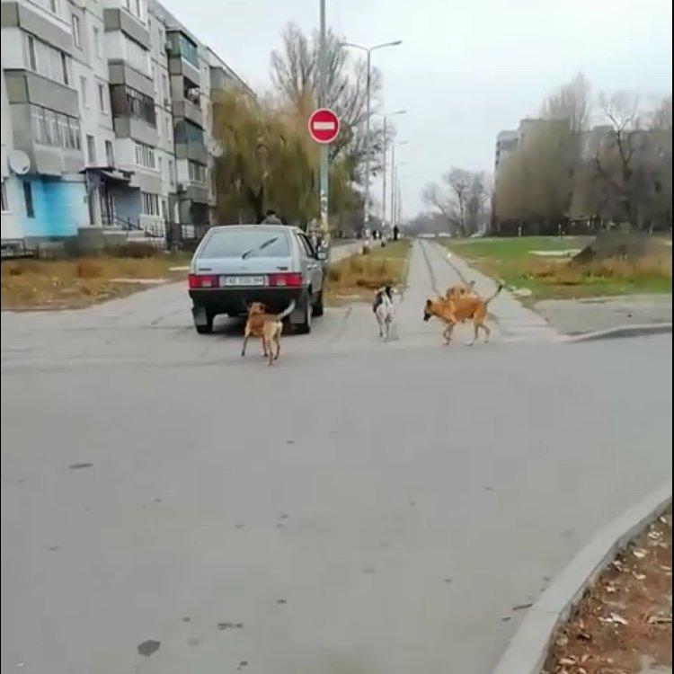 По центру Павлограда бегает стая собак во главе с козлёнком  , фото-2