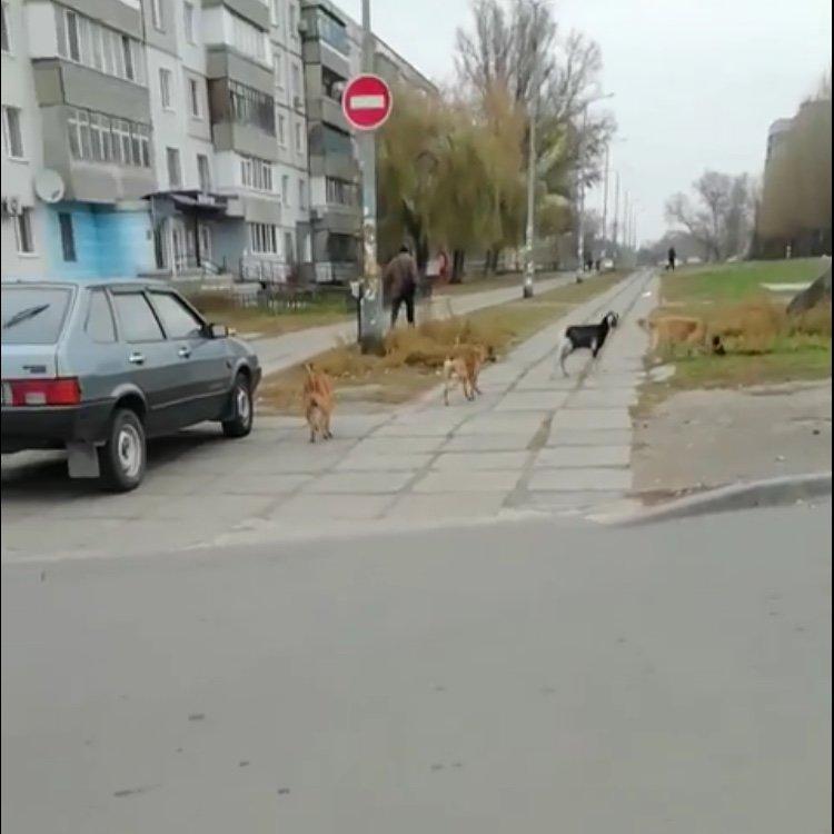 По центру Павлограда бегает стая собак во главе с козлёнком  , фото-3