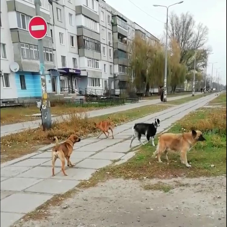 По центру Павлограда бегает стая собак во главе с козлёнком  , фото-4